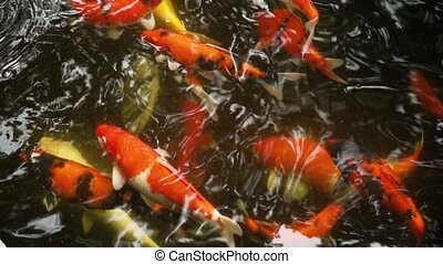 Decorative goldfish catch pieces of bread in a pond  A funny