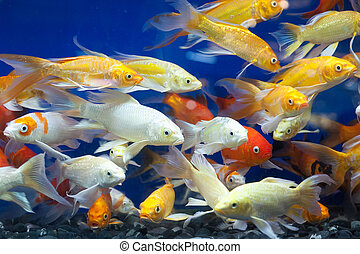 Colorful fish in the pond.