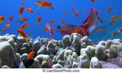 colorful fish on coral reef, Red sea 4K