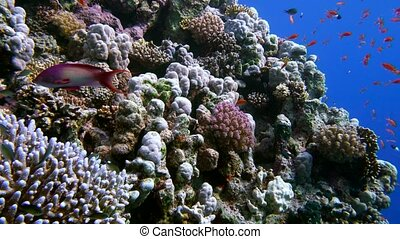Colorful Fish on Vibrant Coral Reef and diver. Red sea....