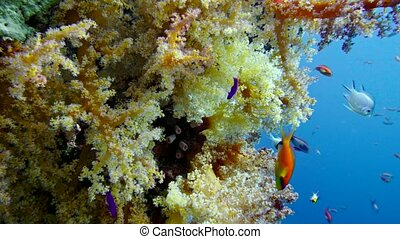 Colorful Fish on Vibrant Coral Reef, Red sea