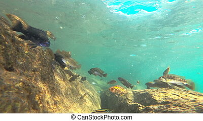 Colorful fishes in lake malawi