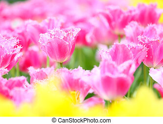 colorful flower field of tulip