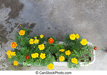 colorful flower marigold