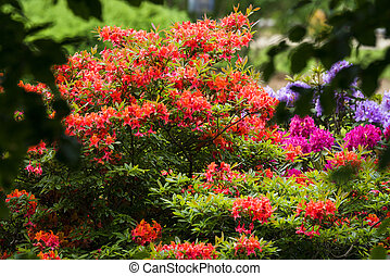 Colorful flowers in a garden on a bush