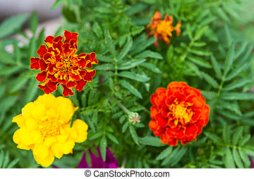 Colorful flowers of marigolds
