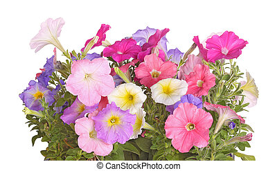 Side view of petunia plants flowering in multiple colors against a white background