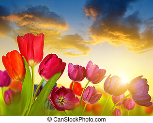 Colorful flowers tulip