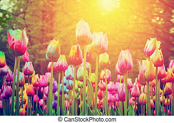 Colorful flowers, tulips in a park, garden, sun shining in spring. Vintage style