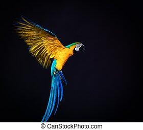 Colorful flying Ara on a dark background