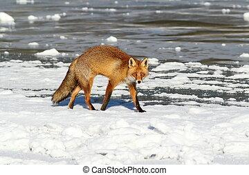 colorful fox walking on ice
