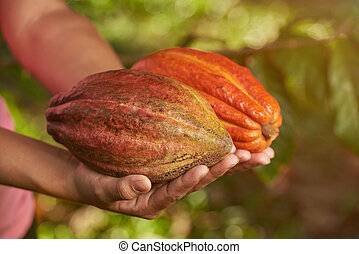 Colorful fresh cacao pods