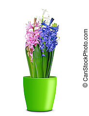 Colorful fresh hyacinth flowers in pot