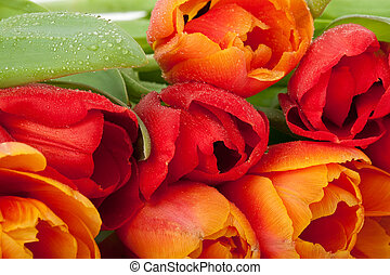 fresh red and orange tulips with water drops isolated on white background