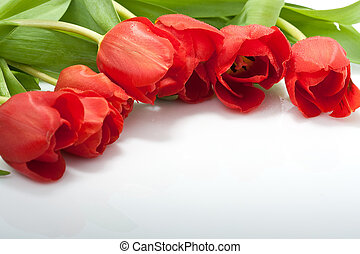 fresh red tulips with water drops isolated on white background