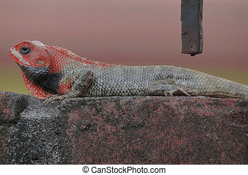 colorful Garden Lizard sitting on the wall ,with light pink and yellow background in the city of kathmandu, Nepal.