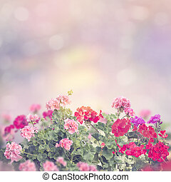 colorful geranium flowers in the garden