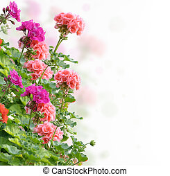 Colorful Geranium Flowers On White Background