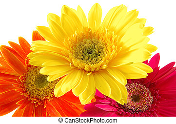 Colorful gerber daisies - Close up of three colorful gerber...