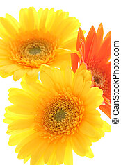 Colorful gerber daisies on white background