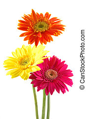 Colorful gerber daisies - Three colorful gerber daisies in...