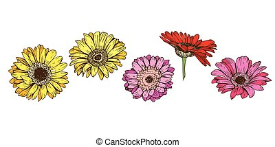 Colorful gerbera flowers isolated on white background. Floral vector.