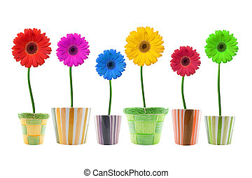 colorful gerbera flowers isolated on white background