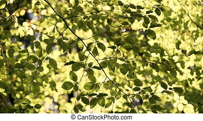 Colorful green benjamin leaves in the wind, sepia tone -...