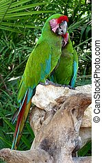 Colorful green macaw perched on a branch, Mexico