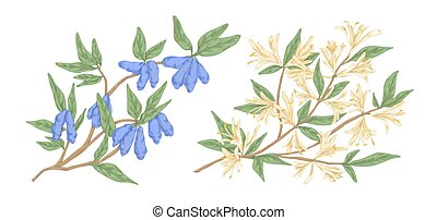 Colorful hand drawn honeysuckle branch with flowers and berries vector engraving illustration. Realistic edible garden kind of plant isolated on white. Lonicera japonica detailed design elements.