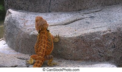 Colorful horned lizard, showing off his colorful, patterned skin and long tail, in his habitat. 4k footage 2160p