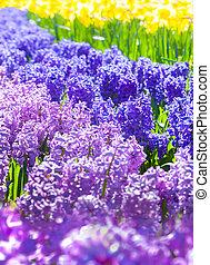 Colorful hyacinth flowers in the Keukenhof park