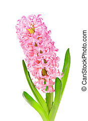 Colorful Hyacinth isolated on white