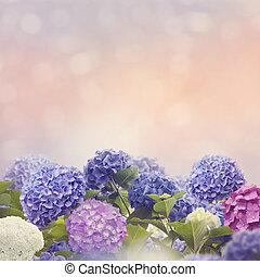 colorful hydrangea flowers in the garden