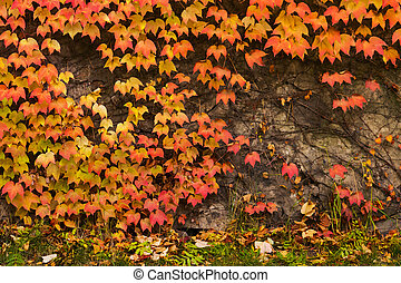 colorful ivy plant on stone wall. beautiful autumn...