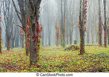 colorful ivy plant on trees in foggy park. mysterious...