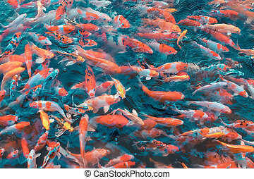 Colorful Japanese Koi Carp fishes moving in a lovely pond of a g
