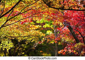 Colorful japanese maple leaves during momiji season at ...
