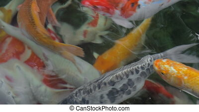 Colorful Koi carp in outdoor pond - Close-up shot of...