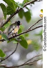 Colorful Lady gouldian finch Erythrura gouldiae birds eat ...