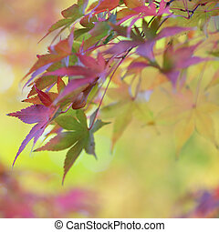 Colorful leaves of japanese maple tree and abstract autumnal background