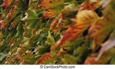 colorful leaves of liana changes the focal length
