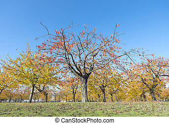 colorful leaves on cherry trees in autumn cherry orchard...