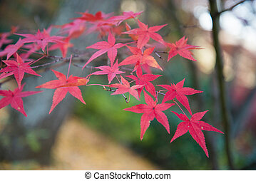 Colorful leaves on maple tree in garden