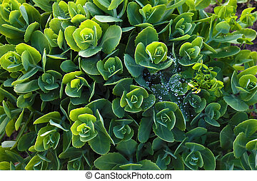 Colorful light green sedum.