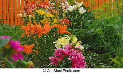 Colorful lilies under the rain - Flower bed near the country...