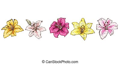 Colorful lily flowers isolated on white background. Floral vector.