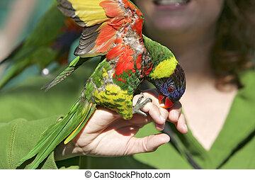 colorful lorikeet on hand