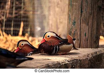 Colorful male Mandarin duck Aix galericulata is a perching ...