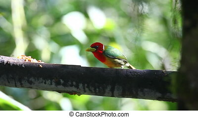 Colorful Male Red-headed Barbet